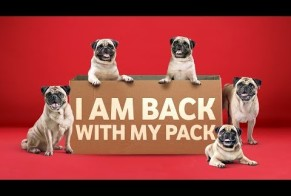 The Pug is Back With It's Pack